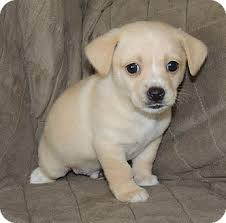 beagle x australian shepherd galandriel adopted puppy la habra heights ca beagle cocker