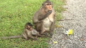 monkey mom steals cookies off baby monkey youtube