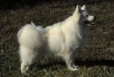 american eskimo dog odor american eskimo dog toy dog breeds at mypetsmart com