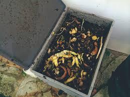 des vers dans la cuisine des vers de terre pour valoriser ses déchets de cuisine le courrier