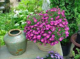 Us Zones For Gardening - 44 best shrubs for containers best container gardening plants