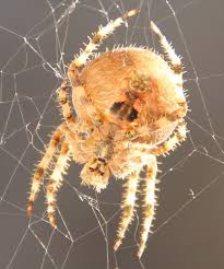 cat face spiders are invading colorado i u0027m from co