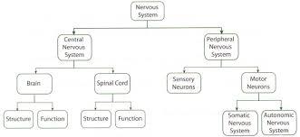 endocrine system concept map the nervous system nervous system concept map