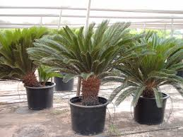 mediterranean fan palm tree palm trees of houston prices palm tree prices palm tree specials