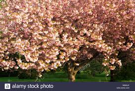 Flowering Cherry Shrub - canada ontario niagara falls japanese flowering cherry tree in
