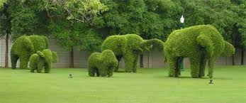topiary trees topiary trees the lost of pruning