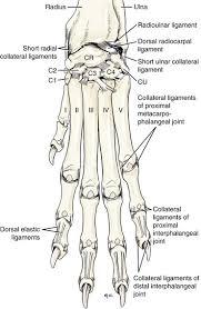 Internal Dog Anatomy Carpus Metacarpus And Digits Veterian Key