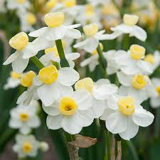 white daffodils dutch flower bulbs at wholesale prices