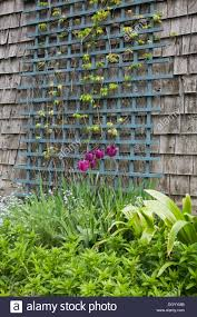 purple tulips grow in a flower bed next to the blue trellis on the