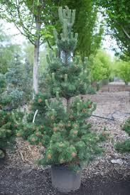 pine oregon green creekside tree nursery