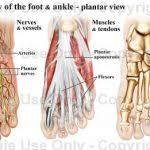 Foot Ligament Anatomy Human Anatomy Diagram Brief Overview Anatomy Of Human Foot