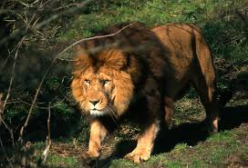 male lion wallpapers animals barbary lion photos wallpapers u2013 animals and birds