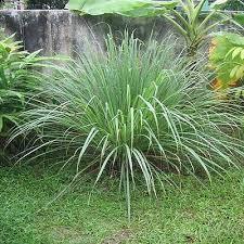 lemon grass ornamental grass seeds the sun seeds