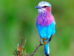 pretty blue birds pictures on animal picture society