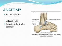 Talus Ligaments Talus Fracture