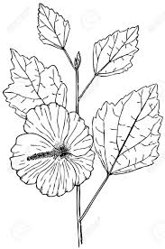 rose of sharon drawing plant hibiscus syriacus rose of sharon