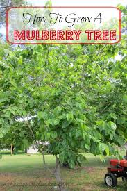 best 25 mulberry tree ideas on mulberry recipes