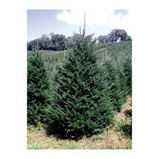real trees delivered 7 green fir freshly cut