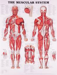 Anatomy Of Human Body Pdf How Many Muscles Are There In The Human Body Info Curiosity