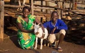 heifer international heifer international and global impact helping