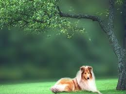 Wallpaper Dog Collie Dog Wallpapers 100 Quality Collie Dog Hd Images Rxp627