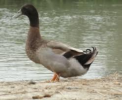 raising khaki campbell ducks modern farming methods