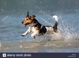 australian shepherd jack russell terrier jack russell terrier jumping stock photos u0026 jack russell terrier