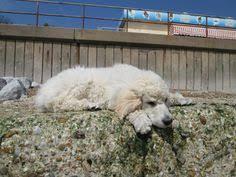 australian shepherd 7 mesi australian shepherd dash 7 months standard poodle luna 6 months