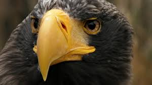 stellers sea eagle wallpapers bird eagle nature forest tree awesome hd wallpaper animals