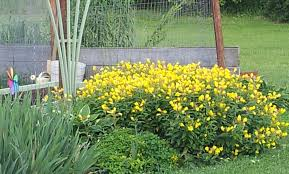 eight thriving plants for your yard mobile home landscaping my