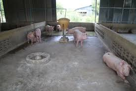 cambodian case study intergrated pig and fish farming the pig site