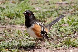 towhee birds free images public domain images