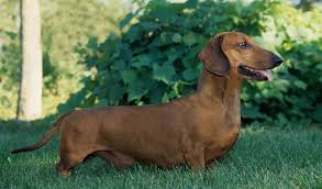 lifespan of a bluetick coonhound dachshund dog breed information