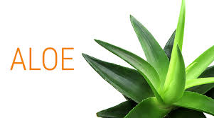 aloe vera plant facts the amazing benefits of aloe vera from antiquity to today