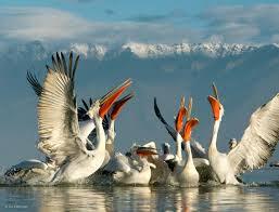 pelican pack photograph by jari peltomäki dalmatian pelicans