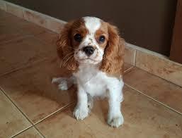 australian shepherd zu verkaufen alvin cavalier king charles spaniel puppy for sale euro puppy