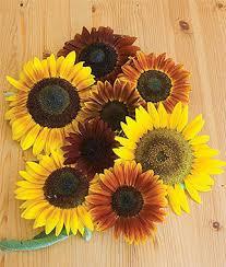 organic sunflower seeds grow ornamental mix organically at