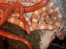 free images scale animals vertebrate snakes animal world