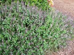garden thymes glorious basil
