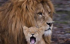 male lion wallpapers wallpaper lion cub cry mane caring family hd picture image