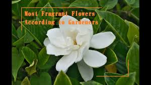 Fragrant Jasmine Plant 23 Most Fragrant Flowers According To Gardeners Youtube