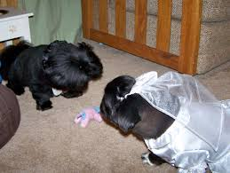 affenpinscher good bad pekingese the dog mom u0027s weblog