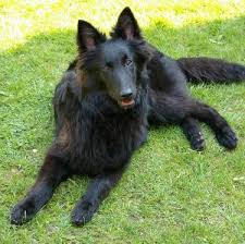 belgian sheepdog art the dog in world belgian sheepdog belgian malinois belgian