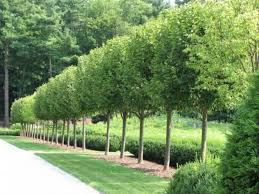 trees for front yard home interiror and exteriro design home