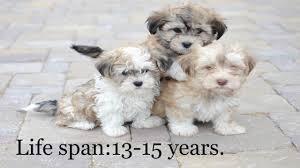 poodle vs bichon frise bichon havanese vs papillon the best toy dog breeds tds youtube