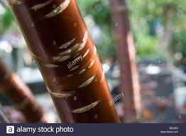 up of the shiny bark of the prunus serrula or birch bark