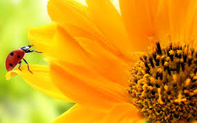 sunflower wallpapers hd background sunflower wallpapers