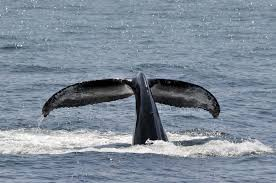 humpback whale facts beautiful giants of the sea