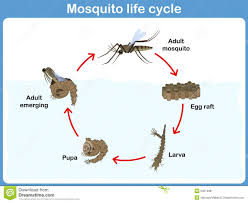 vector cycle of mosquito for kids stock vector image 50219981