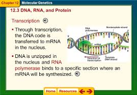 chapter  molecular genetics  ppt video online download with dna is unzipped in the nucleus and rna from slideplayercom